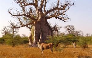 Le baobab sauvage africain